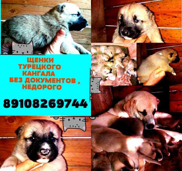 Продам щеночки турецкого кангала (подробнее: ht