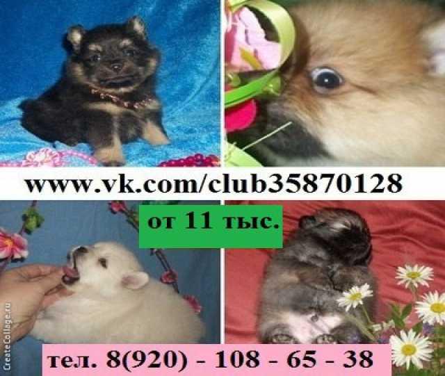 Продам большой выбор Шпица щеночков (подробнее:
