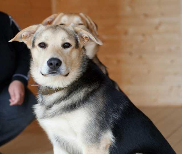 Отдам даром Атос - самый умный щенок ищет дом