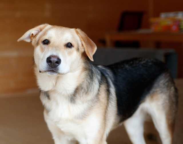 Отдам даром Портос - самый нежный пёс на свете ищет