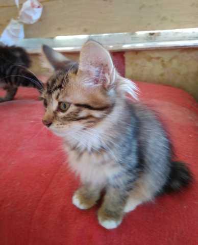 Продам котят Курильского бобтейла