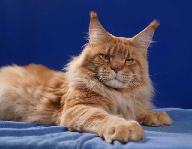 Продам Роскошные котята мейн куны
