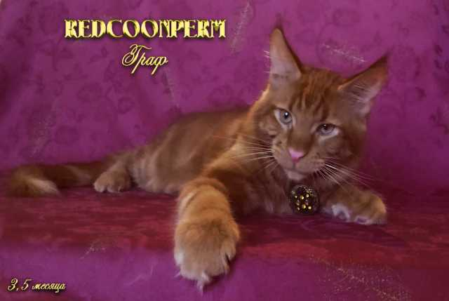 Продам Котёнок мейн кун красный солид