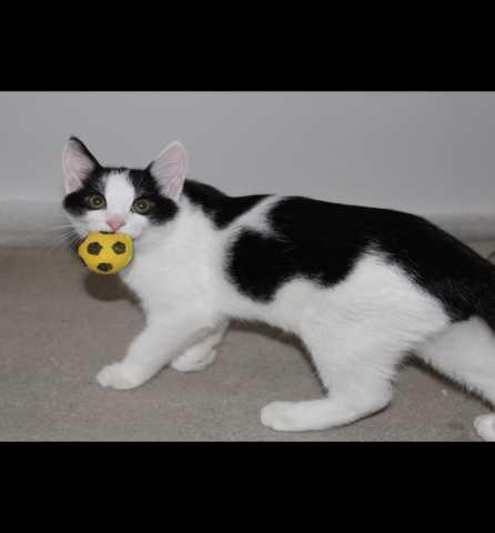 Отдам даром Черно-белые котята