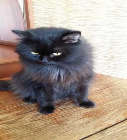 Отдам даром Алладин - просто волшебный кот