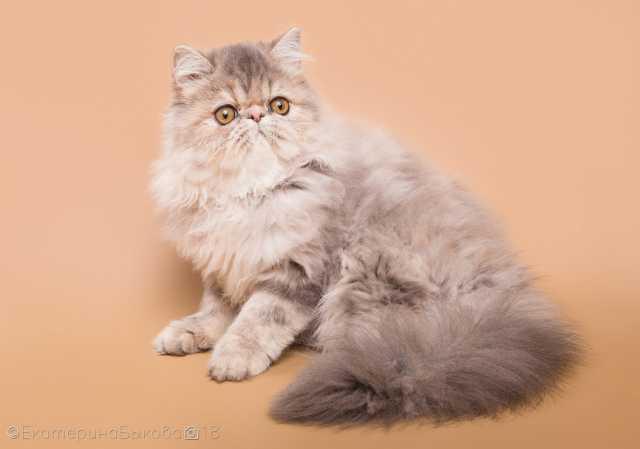 Продам Котята экзотической и персидской породы