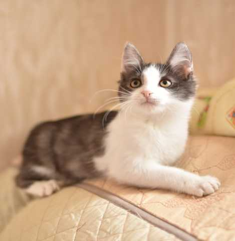 Отдам даром Котёнок Ларсен- активный, игривый