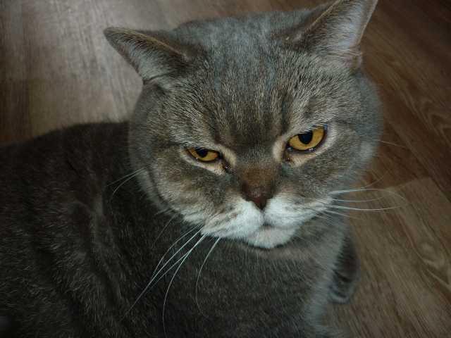 Продам кошка британская голубая
