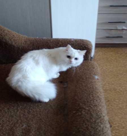 Отдам даром Белоснежный кот Маруся в добрые руки