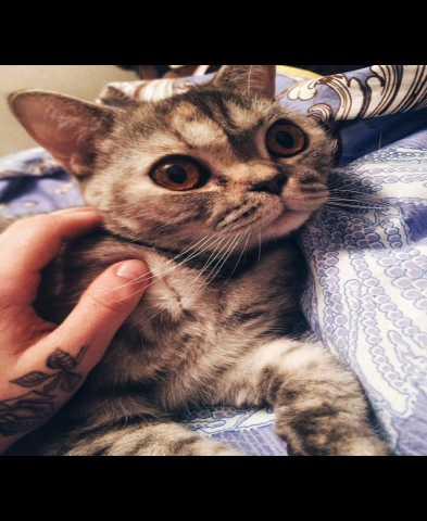 Отдам даром Кошка(Британка)