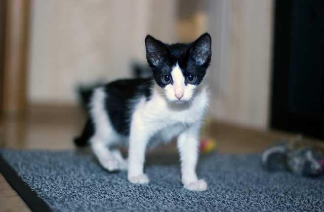 Продам Бело-чёрный котёнок Деми, 2 мес