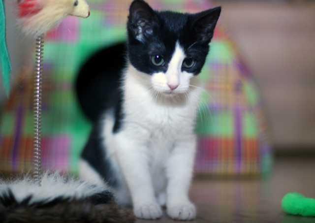 Отдам даром [ Бело-чёрный котёнок-девочка Милла