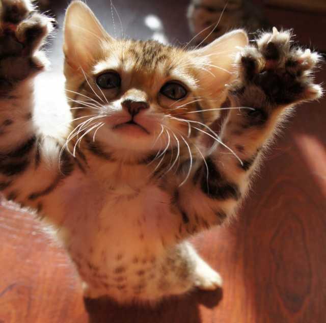 Продам Бенгальский котенок
