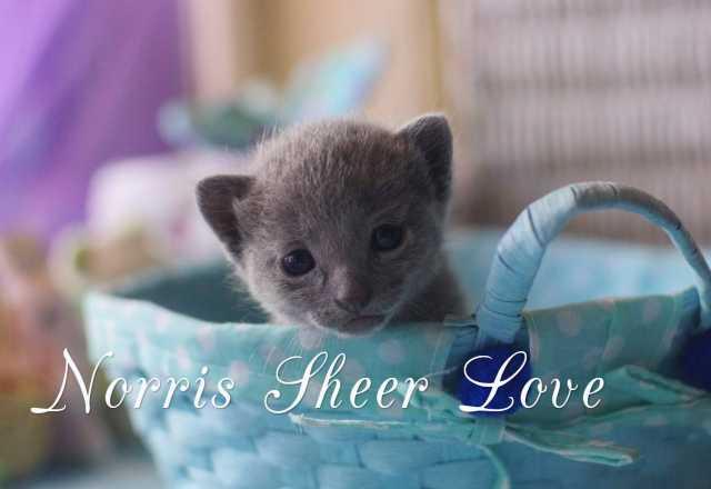Продам русский голубой котенок от Чемпиона Мира