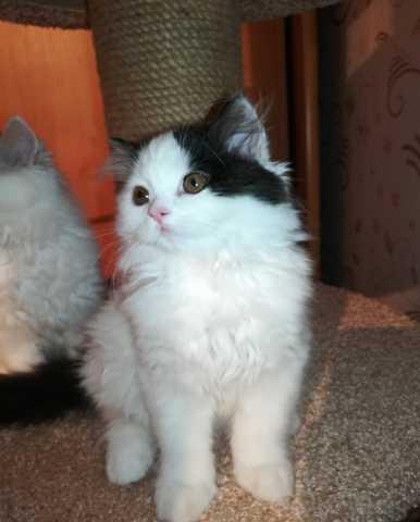 Продам: Шотландские котята