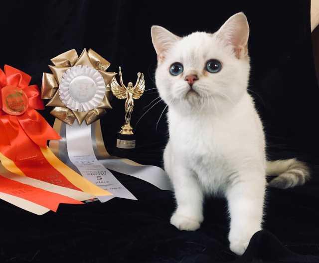 Продам Британский котенок с документами