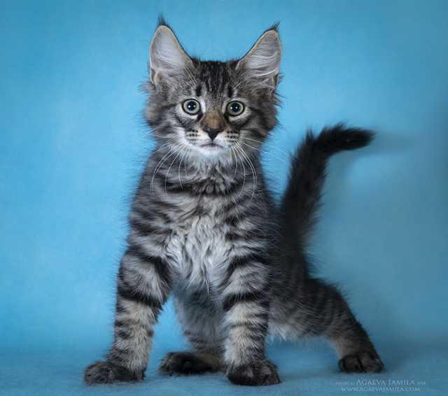 Продам Норвежские лесные котята из питомника