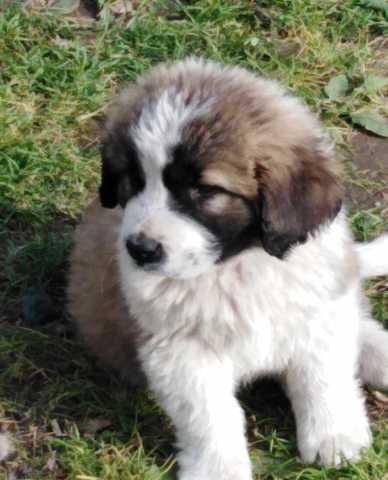 Продам щенок московской сторожевой