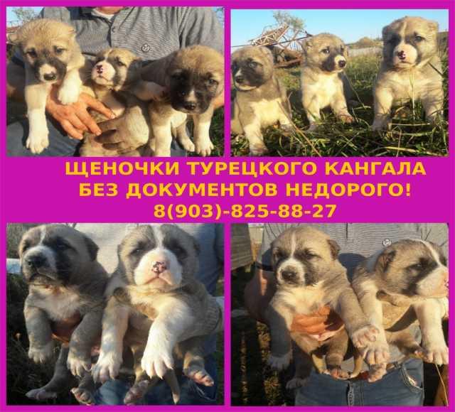 Продам Турецкого кангала щеночки