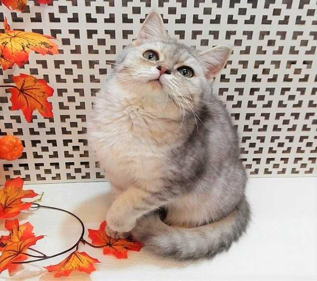 Продам: Британский котик Грэй