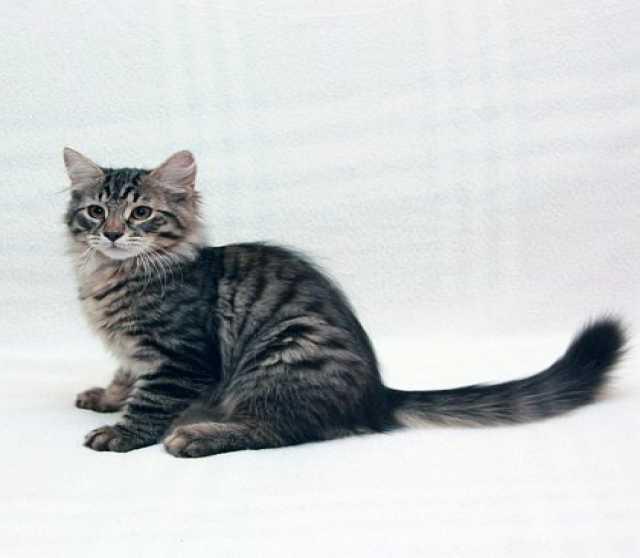 Куплю котёнок сибирской породы