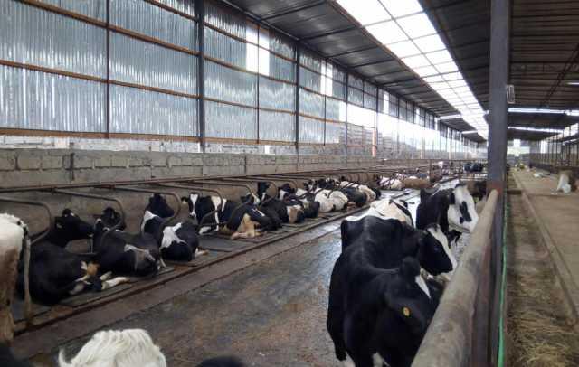 Продам Продажа племенных нетелей молочного напр