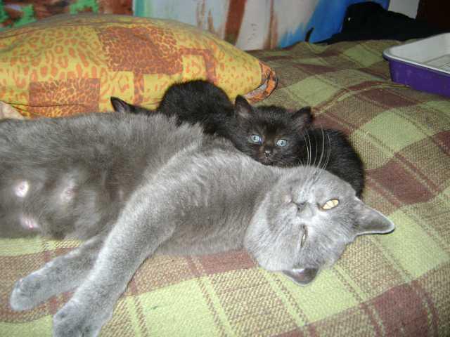"""Продам котят, порода """"Британская кошка"""""""