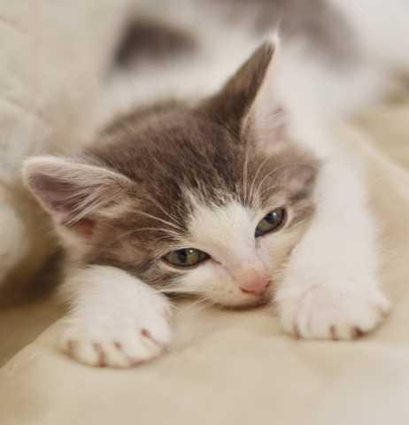 Отдам даром Котёнок Лемур-спокойный, ласковый малыш