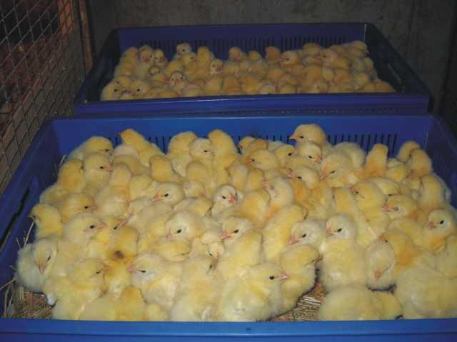 Продам Суточные цыплята бройлера Кобб-500
