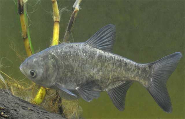 Продам Живая рыба Толстолобик
