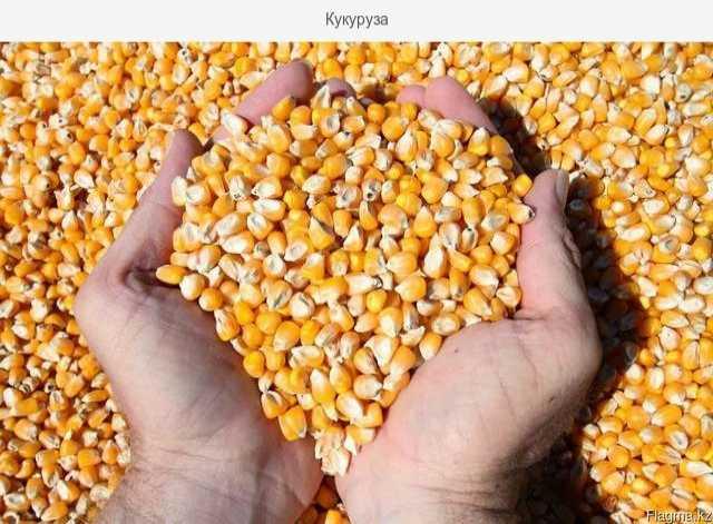 Продам Оптовая продажа фуражной кукурузы