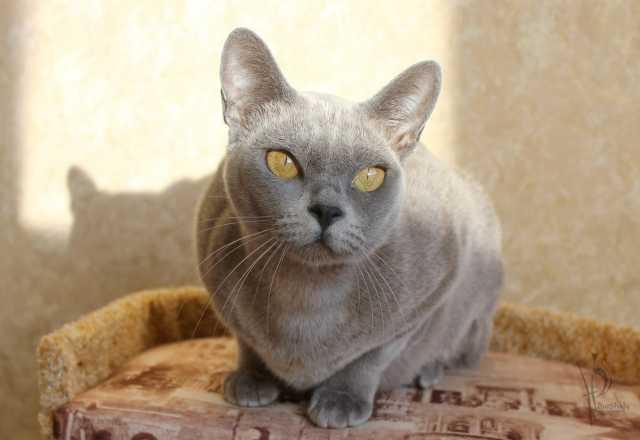 Продам Европейская бурма кошка голубого окраса
