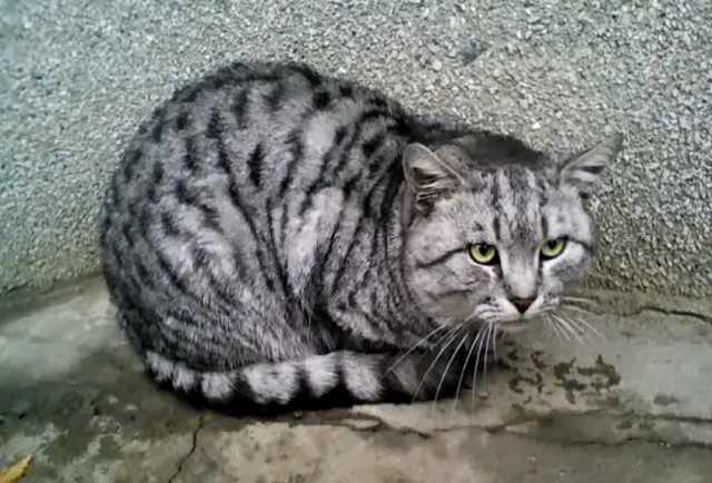 Отдам даром Красивый крупный полосатый кот ищет дом