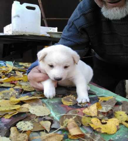 Отдам даром Щенки от породистой собаки даром