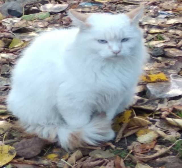 Отдам даром Голубоглазый котик