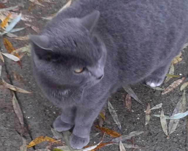 Отдам даром Кошечка-британка и пушистый котик в дар