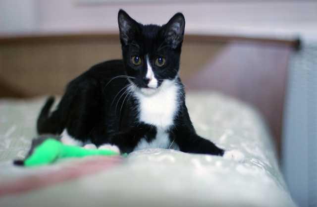 Отдам даром Чёрно-белый котёнок-девочка, 2 мес