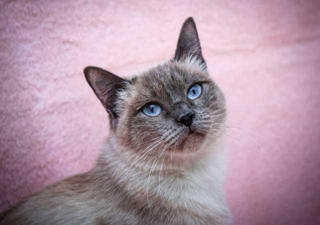 Отдам даром Сиамская (тайская) кошка Мисти ласковая