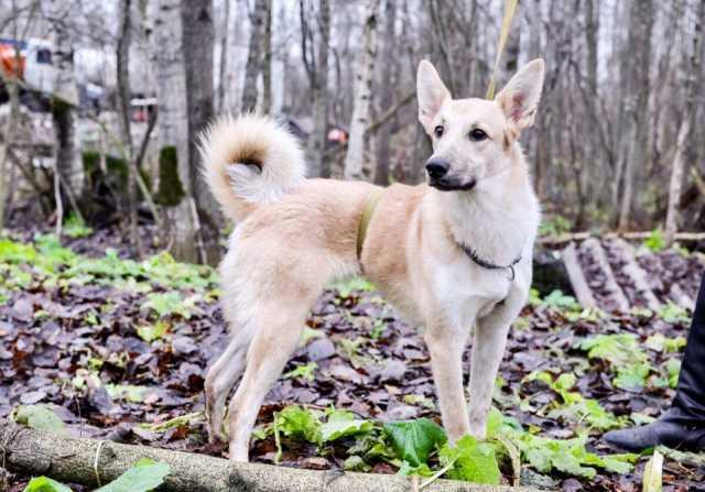 Продам Прелестная собачка изабеллового окраса