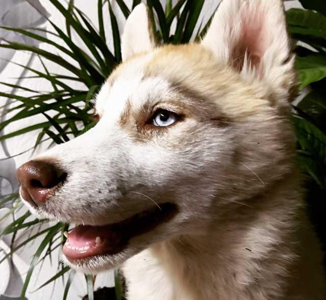 Продам Продаются щенки Сибирский Хаски