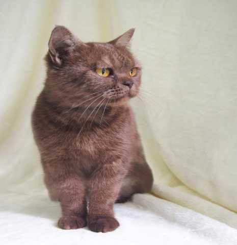 Отдам даром Шоколадная британская кошка Юмико