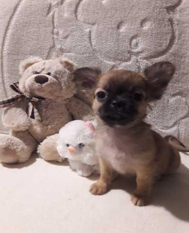Продам Маленький щенок чихуахуа из питомника.