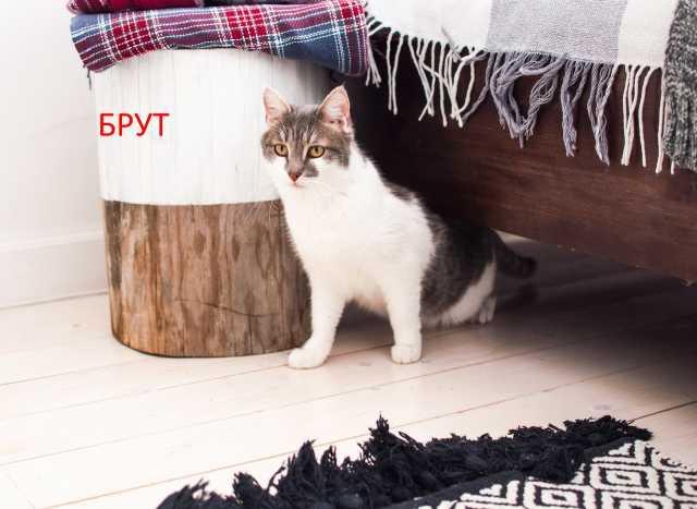 Продам Брут - крупный молодой котик.