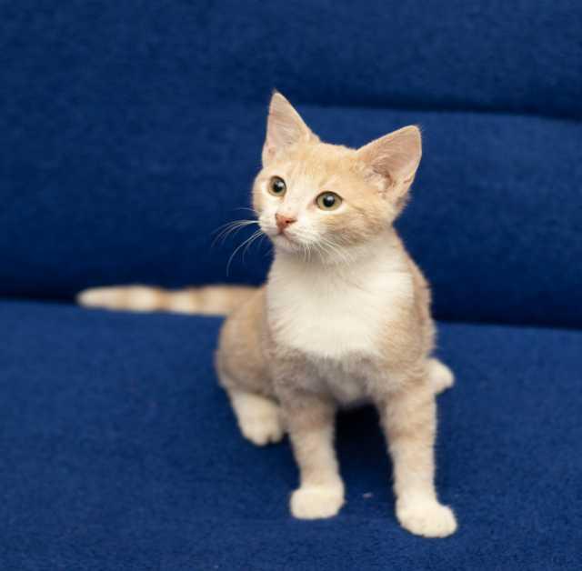 Отдам даром персиковый котенок Рамсик