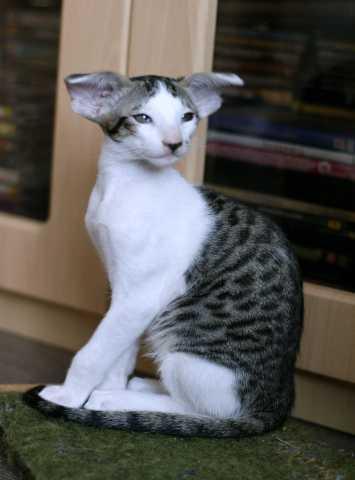 Продам Очаровательный  ориентальный котик.