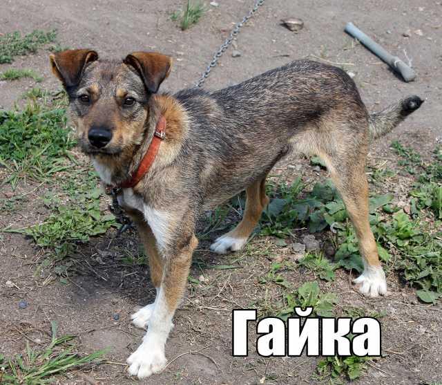 Отдам даром собачку Гайку