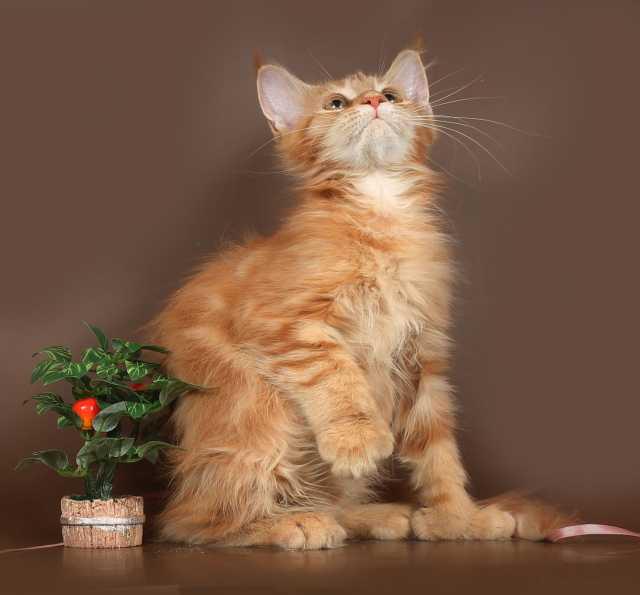 Продам Котята мейн - куны полидакты,
