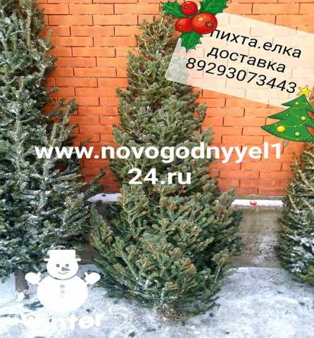 Продам Новогодняя елка пихта