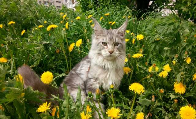 Продам: Кот Мейн-кун