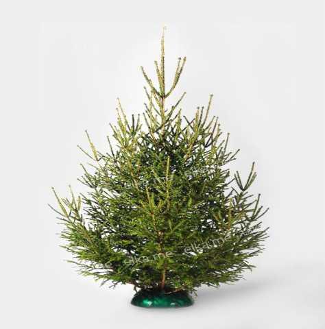 Продам Живые елки из лучших питомников Европы и